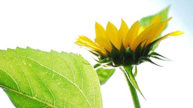 Bright Yellow Big Sunflower Fine Art Photography