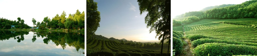 Rural Tea Plantation