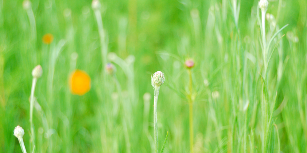 Wild Flower of the Field Photography